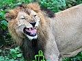 Lion 02 (2646544698).jpg