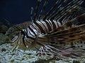 Lionfish (3832996172).jpg