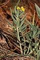 Lithospermum californicum 4679.JPG
