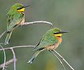 Little Bee-eaters.jpg