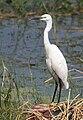 Little Egret I IMG 0809.jpg