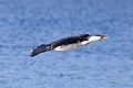 Little Pied Cormorant (Microcarbo melanoleucos) (8079579635).jpg