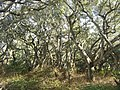 Live oak forest in Los Osos Oaks - Flickr - pellaea.jpg