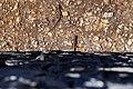 Lizards in Agulo on La Gomera, Spain (48293766097).jpg