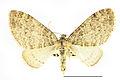 Lobophora halterata SLU.JPG