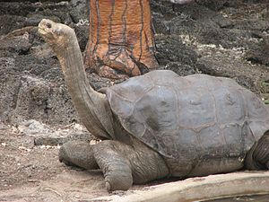 Galápagos tortoise - C. abingdonii Lonesome George at the Charles Darwin Research Station, in 2006