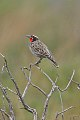 Long-tailed Meadowlark (Sturnella loyca) (8077557007).jpg