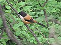 Long-tailed Shrike 0001.jpg