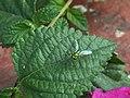 Long leg Green Jewelry – Condylostylus.jpg