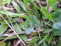 Lotus uliginosus leaf7 (10356305964).jpg