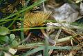 Lowland Streaked Tenrec (Hemicentetes semispinosus) (9654579639).jpg