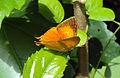 Loxura atymnus - Yamfly.JPG