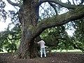 Lucombe Oak Kew - geograph.org.uk - 91545.jpg