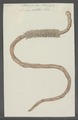 Lumbricus sabellaris - - Print - Iconographia Zoologica - Special Collections University of Amsterdam - UBAINV0274 103 03 0006.tif