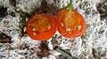Lycium ferocissimum Cyprus fruit inside view.jpg