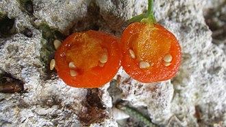 Lycium ferocissimum - Image: Lycium ferocissimum Cyprus fruit inside view