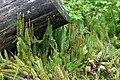 Lycopodium annotinum, Les Fourgs - img 42953.jpg