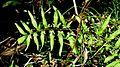 Lygodium venustum Sw. - Flickr - Alex Popovkin, Bahia, Brazil.jpg