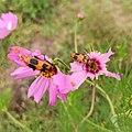 Lytta quadrimaculata foraging.jpg