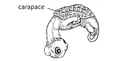 M11. Carapace scales (V13i).png