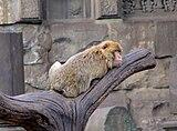 Macaca-sylvanus-barbary-ape-hdr-0a.jpg