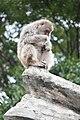Macaca fuscata in Ueno Zoo 2019 36.jpg