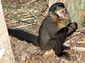 Macaco prego Manduri 060811 REFON 29.JPG