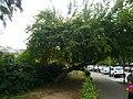 Maclura P1520415.jpg