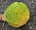 Maclura pomifera 03.jpg