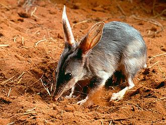 Macrotis - Image: Macrotis lagotis bandicut conejo