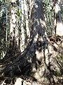 Madeira-Eukalyptuswald.jpg