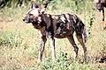 Madikwe Game Reserve, South Africa (39837553360).jpg