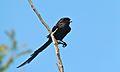 Magpie Shrike (Corvinella melanoleuca) (6002324994).jpg
