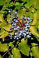 Mahonia aquifolium in Jardin des plantes de Montpellier 01.jpg
