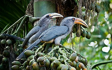 Malabar Grey Hornbill - Male and Female.jpg