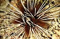 Malapascua sea urchin (Echinothrix calamaris).jpg