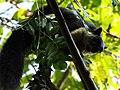 Malayan Giant Squirrel in HGWS.jpg
