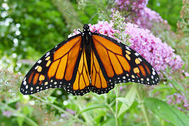 Male monarch butterfly.JPG