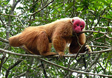 Uakari - Simple English Wikipedia, the free encyclopedia