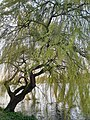 Malpighiales - Salix babylonica - 12.jpg