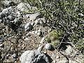 Mammillaria mystax and M. haageana (5753754883).jpg