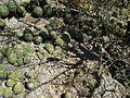 Mammillaria polyedra (5758798025).jpg