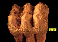 Mammut Tooth Surface Pleistocene Ohio.jpg