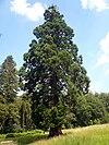 Mammutbaum Schotten.jpg
