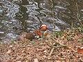 Mandarinentenpaar März 2011 - panoramio.jpg