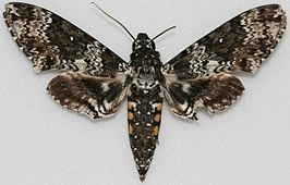 Manduca rustica, Megan McCarty148.jpg