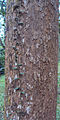 Mango tree bark.jpg