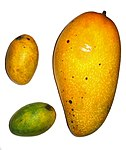 Mangoes-left.jpg