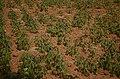 Manihot esculenta Cassava plantation in Kalvarayan hills JEG3597.jpg