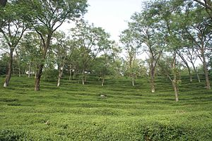 Kangra tea - Image: Mann Tea Estate 1